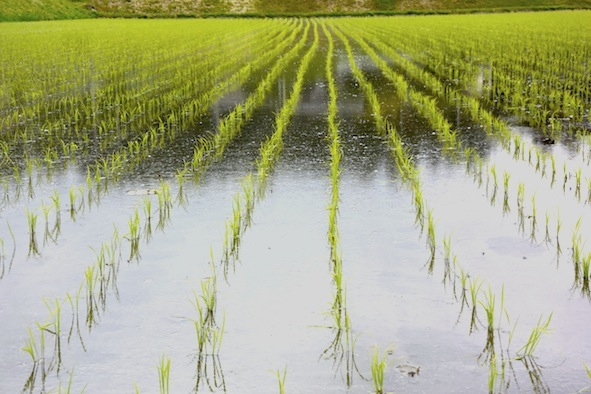ricefield_1