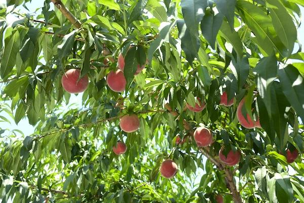 Peach_2